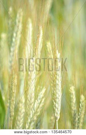 Beautiful ears of grain in the sunny day