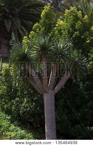 One Tree Of Dracaena Draco. Symbol  Canaries Islands