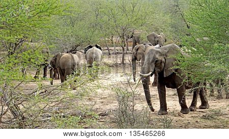 A herd of elephants in the Kruger National Park in South Africa, big and small elephants
