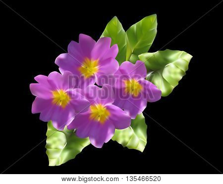 illustration with lilac primula flowers isolated on black background