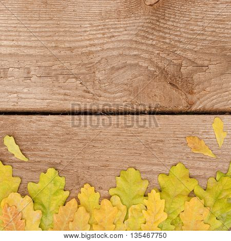 Yellow and green oak leaves on wood background