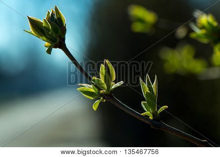 Twigs with green buds young first leaves on tree on sunny spring day on blurred background