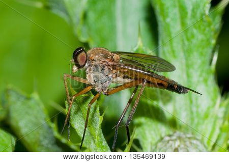Robber Fly perched on a green leaf.