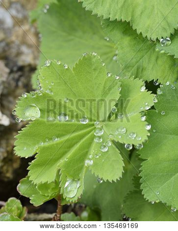 Ladys-mantle Leaves - Alchemilla vulgaris With Rain Drops
