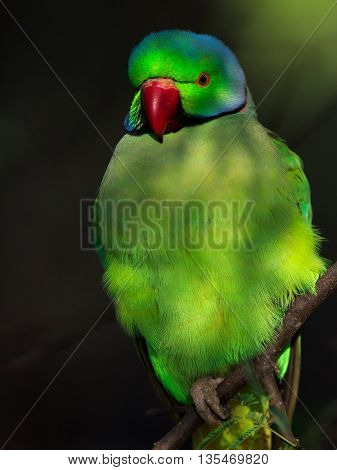 Rose-ringed parakeet Description: Rose-Ringed parakeet called so due to the red ring around its neck. They are sexually dimorphic with only the male containing the ring around its neck. These are very common birds found in Bharatpur. They are not shy and