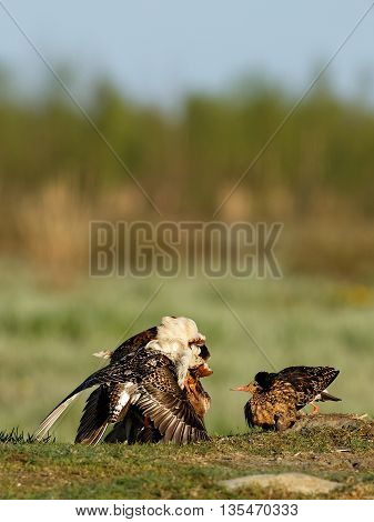 Ruff (Philomachus pugnax) Description: Ruffs Lekking Every spring its time to mate. Ruffs have this lekking behavior where they establish their territory and stave off competitors.