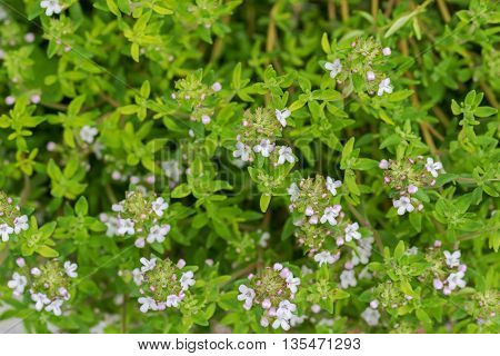 Closeup photo of home grown Thyme with flowers blossoming during summer in the garden, Europe