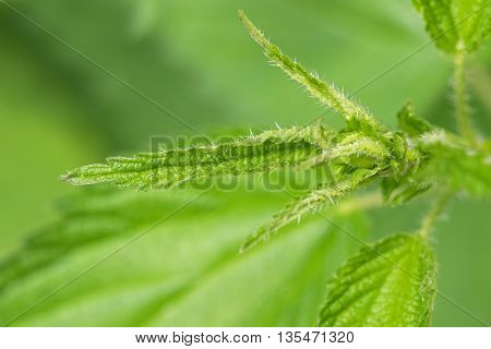 Closeup macro tip of Common Nettle plant with defensive stinging hairs on green leaves and stems during summer in Austria, Europe
