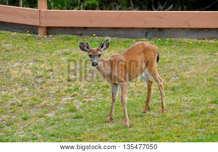 A close-up of a young male black-tailed deer with large ears and budding velvet antlers, standing in a city park, looking forward.