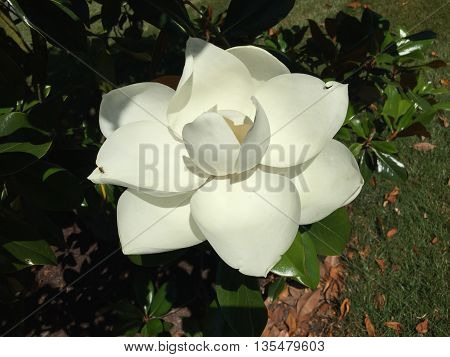 A white Magnolia flower on a Magnolia tree.