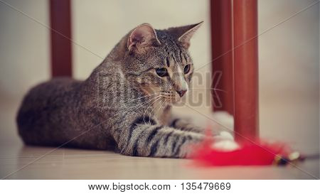 Striped cat plays with a toy under a chair.