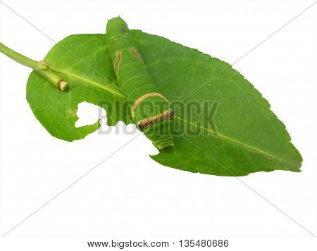caterpillar on green leafs and white background