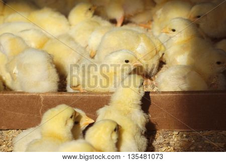 many chicks in a box with natural sunlight