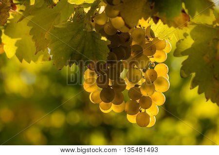 closeup of sunlit Riesling grapes in vineyard