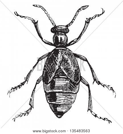 Blister Beetle or Meloe spp. Meloe is one genus of Blister Beetles or family Curculionidae (comprised of 7500 different species). From Domestic Life, vintage engraving, 1880.