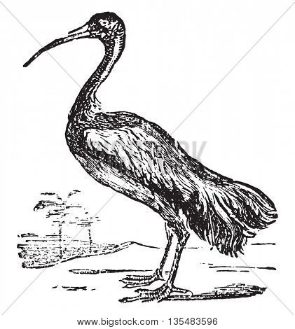 Ibis or Threskiornis spp. From Domestic Life, vintage engraving, 1880.