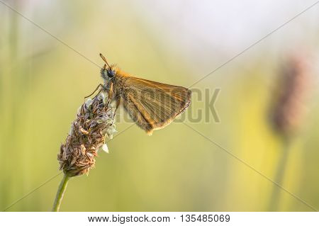Essex Skipper On Plantain Flower