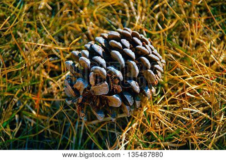 large pine cone laying on the ground