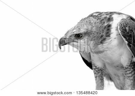 Portrait of beauty hawk Changeable Hawk Eagle with copy space
