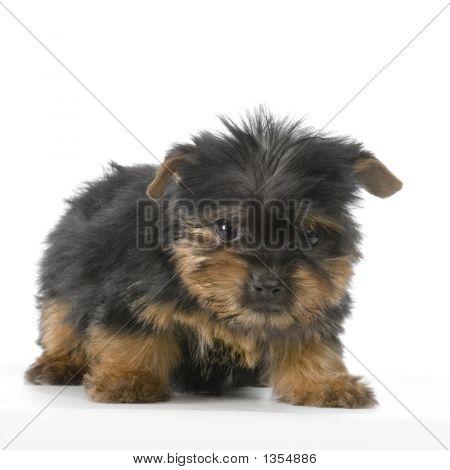 Puppy Yorkshire Terrier