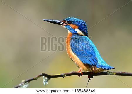 kingfisher (alcedo atthis) in natural habitat