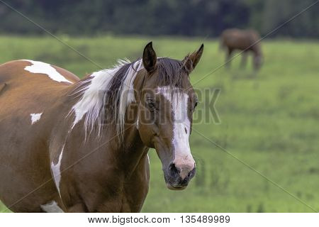 Brown and white Paint horse in a summer pasture with another brown horse out of focus in the background