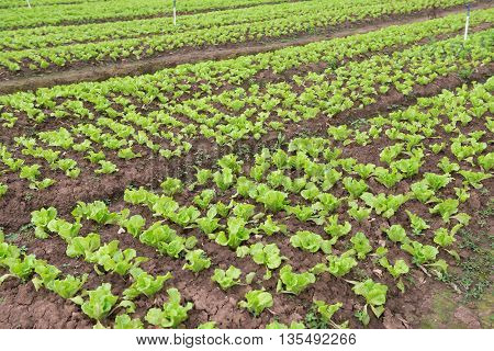 rows of planted lettuce on the field