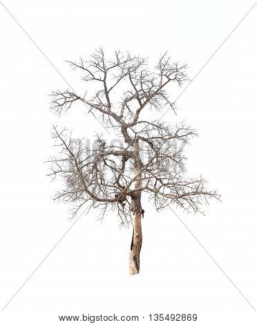 Dead tree on white background. Single tree old and dead tree on white background