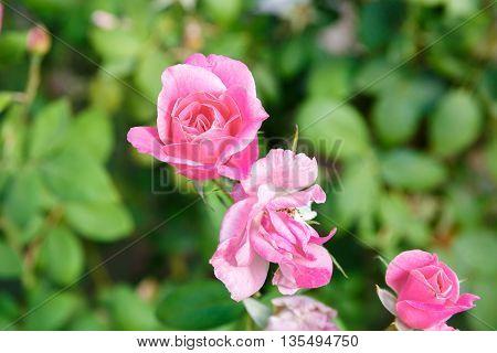 Pink Bud Rose