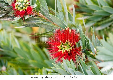 Two red flowers and leaves of Callistemon