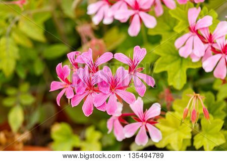 The pink geranium flowers on a bush