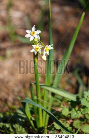 Three Small White Daffodils