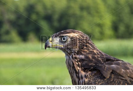 Young hawk in the forest  in summer