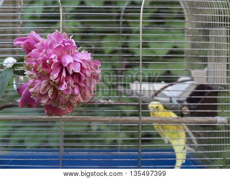 Red peonies in the foreground a bird cage with a small parrot in the blurred background