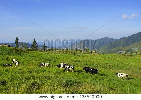 Dairy cows in paddock eating fresh grass under the blue sky New Zealand