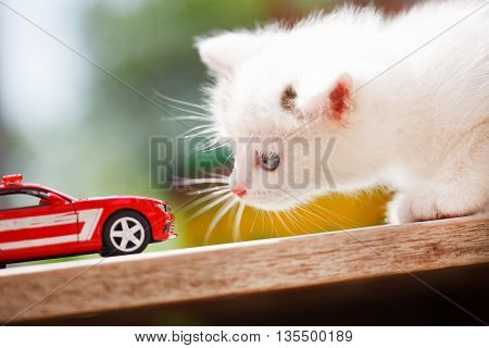 Kitten and toy car. Summer sunny day.