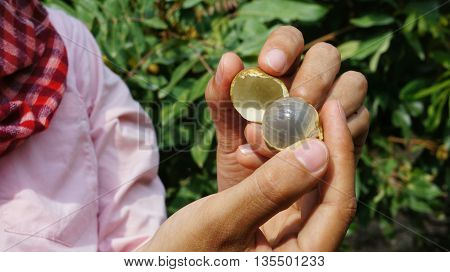Longan (Dimocarpus longan) open and peeled held by two woman hands