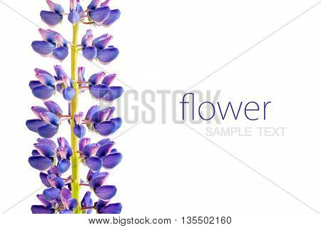 purple lupine on white background empty place for your text