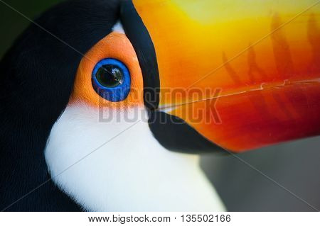 Toucan's Eye Closeup