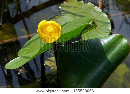 Aquatic plant Yellow Water Lily (Nuphar Lutea) under the summer sun