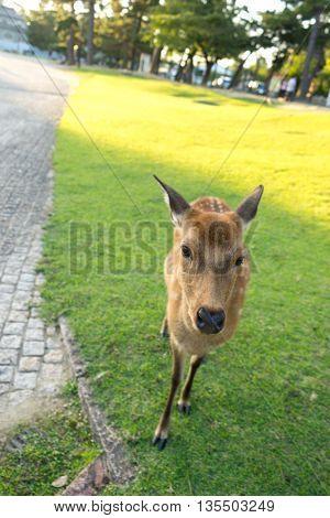 deer on grass near pavement in hokkaido japan