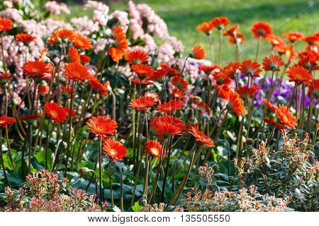 Red flowers on flowerbed closeup in spring time.