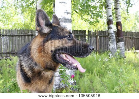 Dog German Shepherd In Village In Summer Day