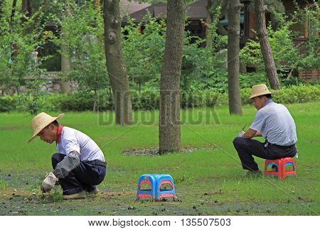 Wuhan, China - June 23, 2015: two worker are weeding lawn in public garden of Wuhan