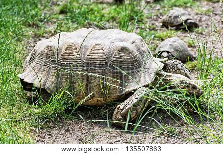 Big turtle and little turtles are feeding in the green grass. Animal scene. Reptile's theme. Beauty in nature. Tortoises in captivity. Animals welfare.