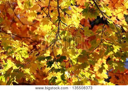 Impression of leaves and autumn colors. Gollden maple trees full frame