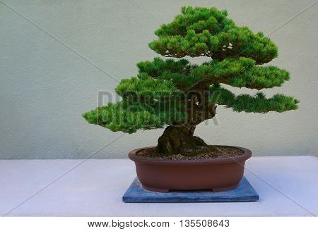 Bonsai Pine Tree Against A White Wall.