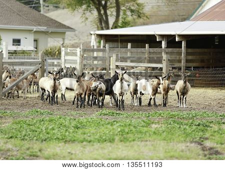 Herd Of Goats In California Against The Background Of Farm