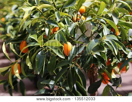 Several Hanging Fruit Tree Orchard Kumquats In Summer