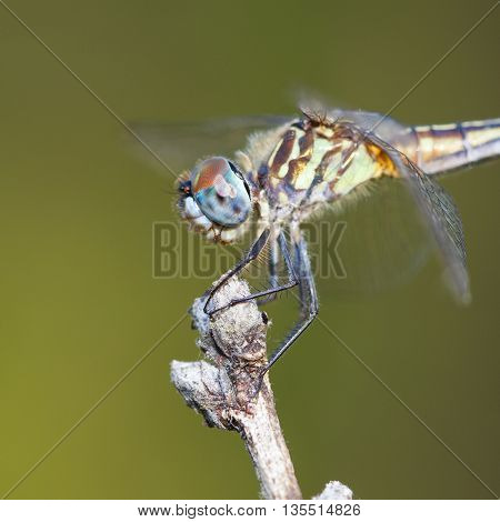 Dragonfly with blue eyes on a stick with a green background